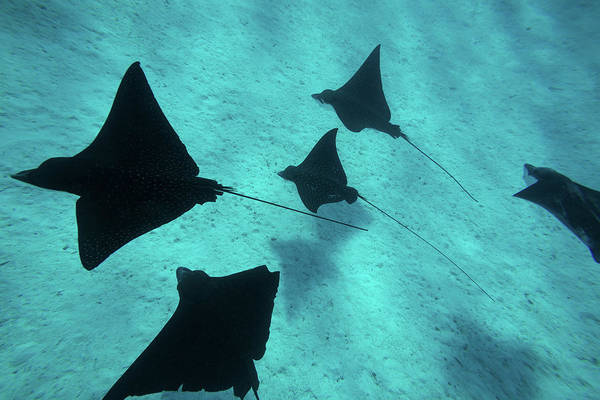 Eagle Ray Photograph - Eagle Rays Swimming In The Pacific by Animal Images