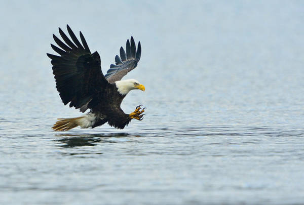 Photograph - Eagle Talons Up by William Jobes