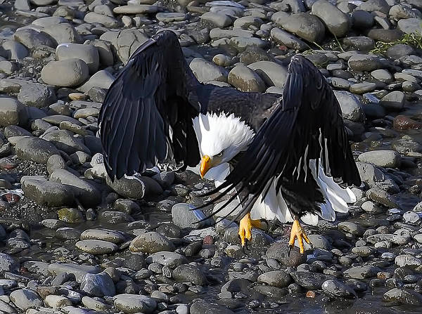 Wall Art - Photograph - Eagle The Look 1 by Evergreen Photography