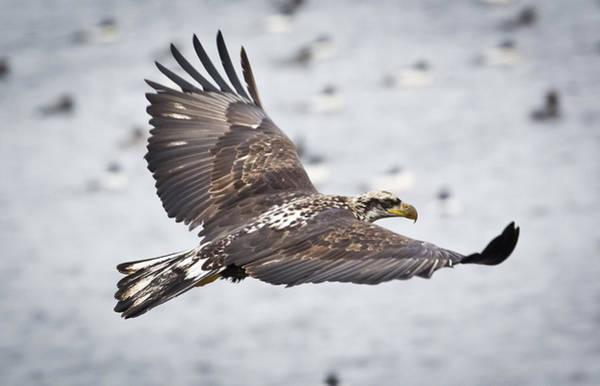 Photograph - Bald Eagle Soaring by Ricky L Jones