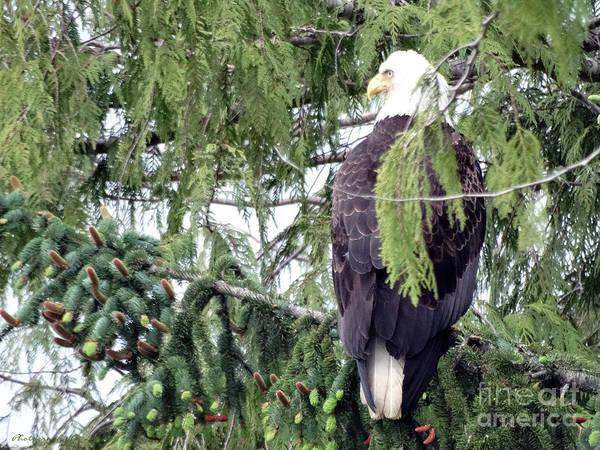 Photograph - Eagle Watching by Gena Weiser