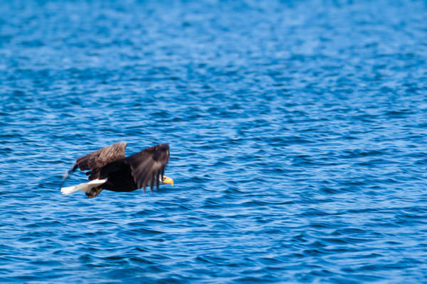 Photograph - Eagle With Catch  by Lars Lentz