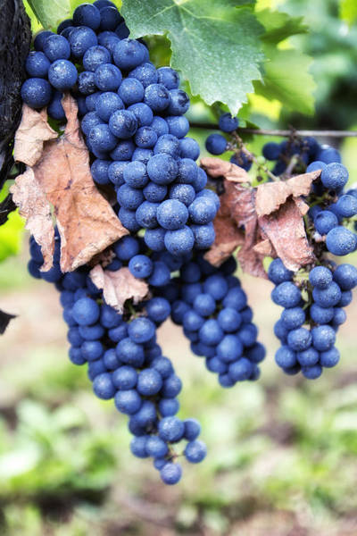 Photograph - Early Autumn Grapes by Georgia Fowler
