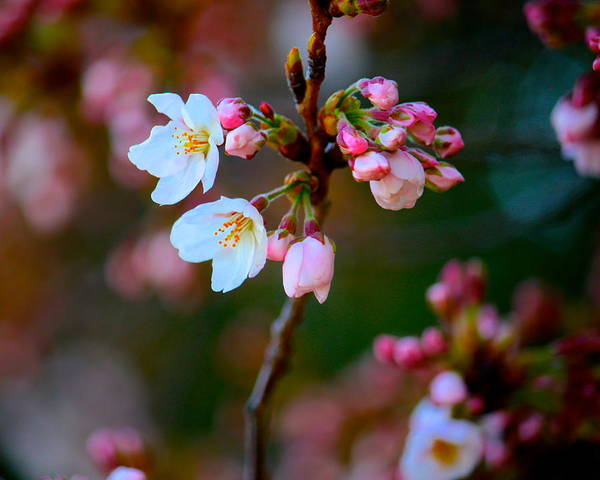 Early Cherry Blossoms Art Print