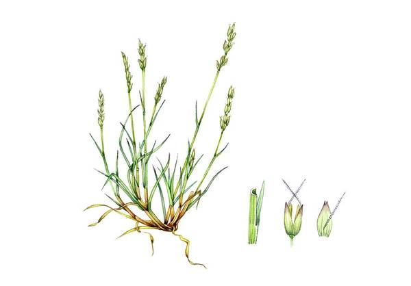 Early Hair-grass (aira Praecox) Art Print
