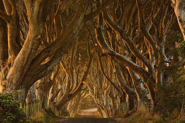 Early Morning Dark Hedges Art Print by Derek Smyth