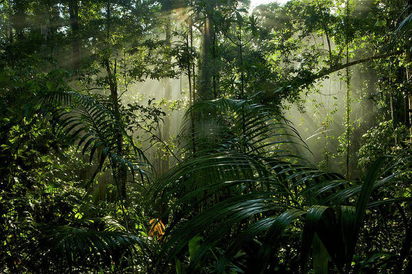 Wall Art - Photograph - Early Morning Light In The Rain Forest by Tim Laman