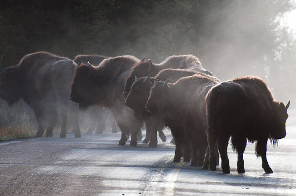 Photograph - Early Morning Road Bison by Bruce Gourley