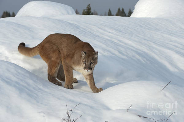 Puma Photograph - Early Morning Survey by Sandra Bronstein