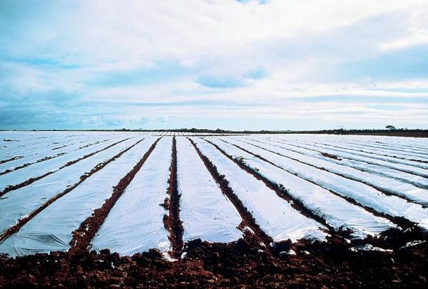 Row Crops Photograph - Early Potatoes Growing Under Polythene by Maurice Nimmo/science Photo Library