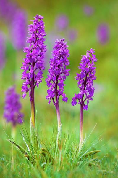 Orchis Photograph - Early Purple Orchid (orchis Mascula) by Alex Hyde