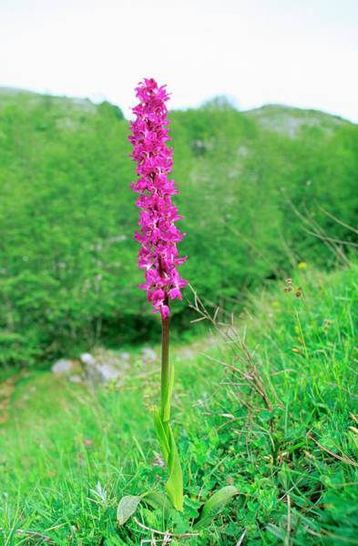 Orchis Photograph - Early Purple Orchid (orchis Mascula) by Bruno Petriglia/science Photo Library