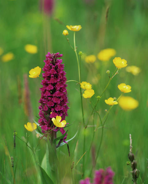 Orchis Photograph - Early Purple Orchid by Simon Fraser/science Photo Library