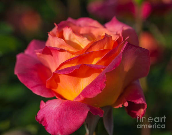 Photograph - Early Rose by Charles Garcia