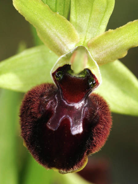 Early Spring Photograph - Early Spider Orchid (ophrys Sphegodes) by John Devries/science Photo Library