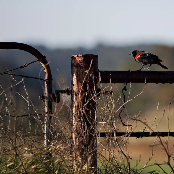 Red-winged Blackbird Wall Art - Photograph - Eary Morning Blackbird by Art Block Collections