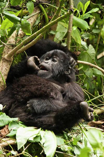 Rwanda Photograph - East Africa, Rwanda, Volcanoes National by Joe and Mary Ann Mcdonald