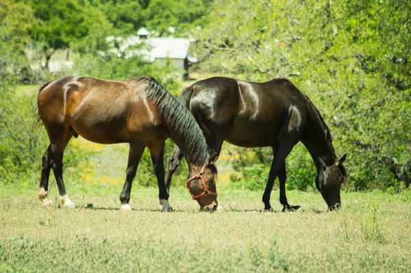 1431 Photograph - East Of Marble Falls Horses by JG Thompson