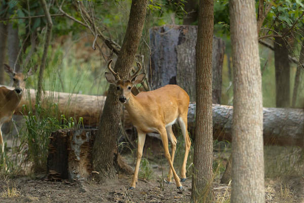 Photograph - East Texas Whitetail  by Kim Henderson