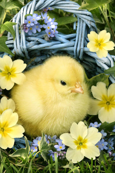 Chick Photograph - Easter Chick In Basket by MGL Meiklejohn Graphics Licensing