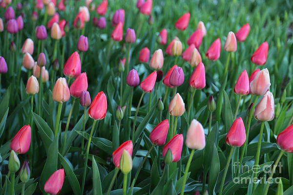 Photograph - Easter Egg Tulips by Carol Groenen
