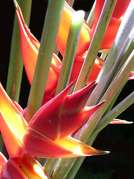 Jim Temple Photograph - Easter Heliconia by James Temple