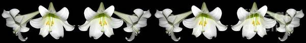 Wall Art - Photograph - Easter Lilies Panorama by Rose Santuci-Sofranko