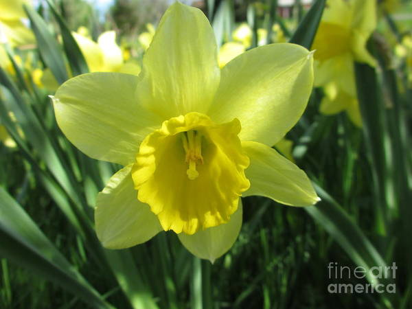 Dafodil Photograph - Easter Lily  by Martin Howard