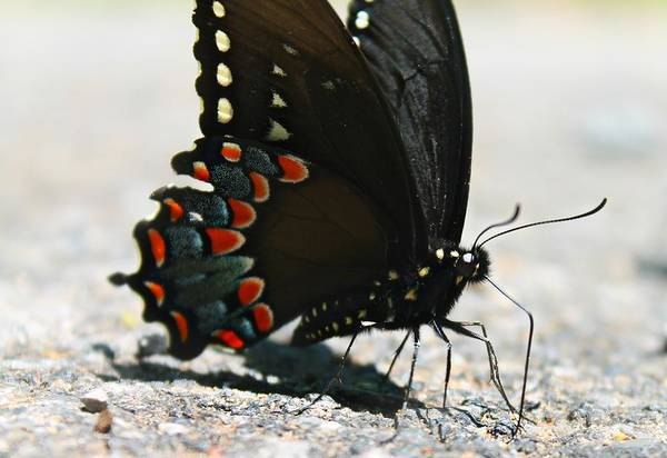 Photograph - Eastern Black Swallowtail by Candice Trimble