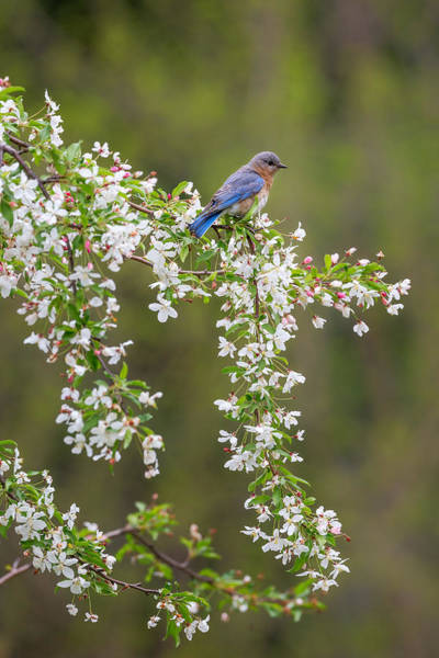 Photograph - Eastern Bluebird by Bill Wakeley