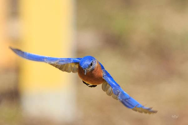 Wall Art - Photograph - Eastern Bluebird by Everet Regal