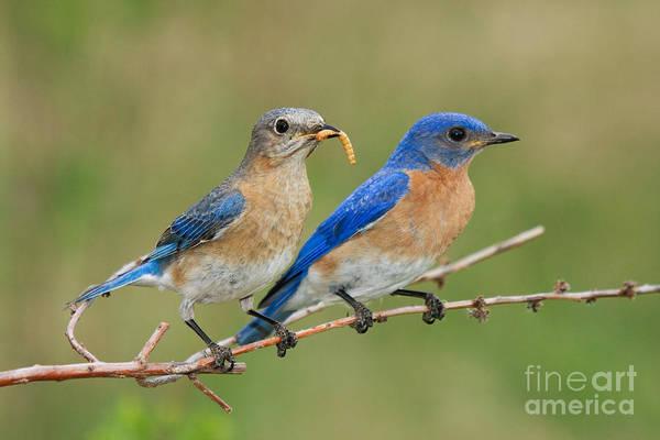 Northern Minnesota Wall Art - Photograph - Eastern Bluebird Pair by Linda Freshwaters Arndt