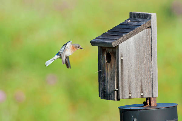 Comfort Photograph - Eastern Bluebird (sialia Sialis by Larry Ditto
