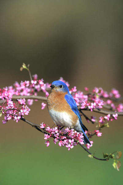 Wall Art - Photograph - Eastern Bluebird (sialia Sialis by Richard and Susan Day
