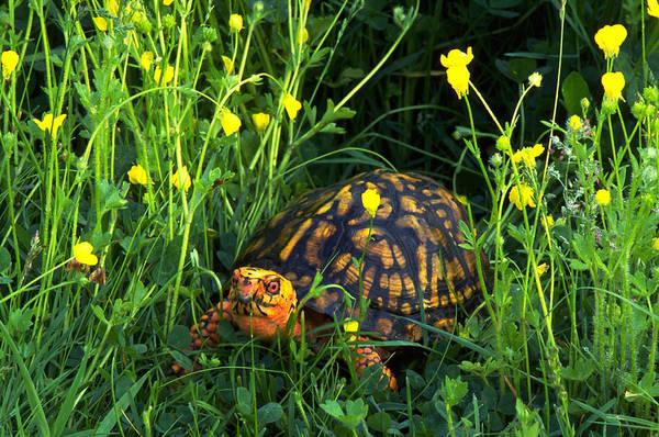 Box Turtle Photograph - Eastern Box Turtle Amongst A Field by Jeffrey Lepore