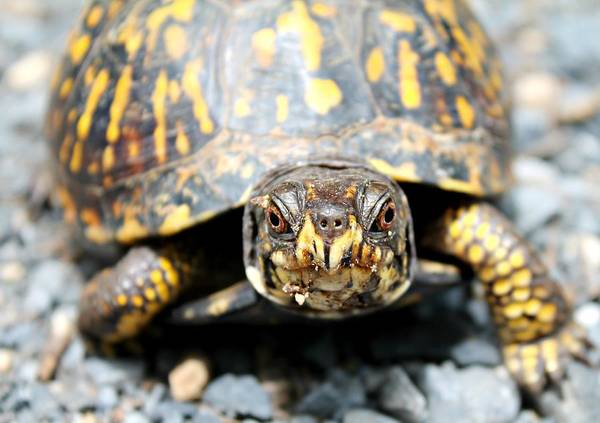 Photograph - Eastern Box Turtle by Candice Trimble