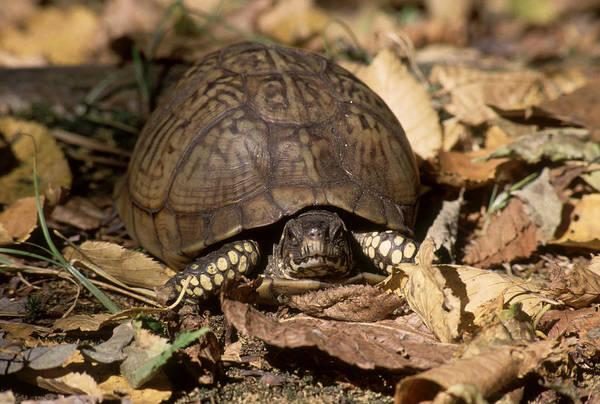 Box Turtle Photograph - Eastern Box Turtle by C.r. Sharp