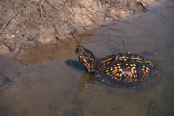 Box Turtle Photograph - Eastern Box Turtle by Karl H. Switak