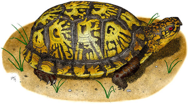 Box Turtle Photograph - Eastern Box Turtle by Roger Hall