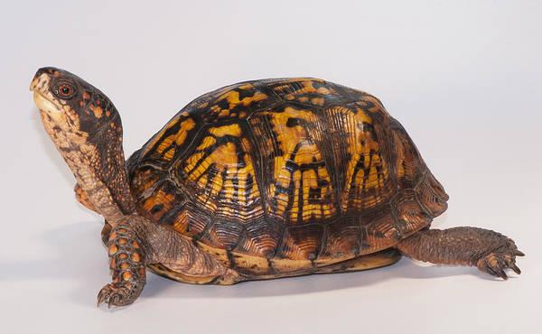 Box Turtle Photograph - Eastern Box Turtle, Terrapene Carolina by Scott Camazine
