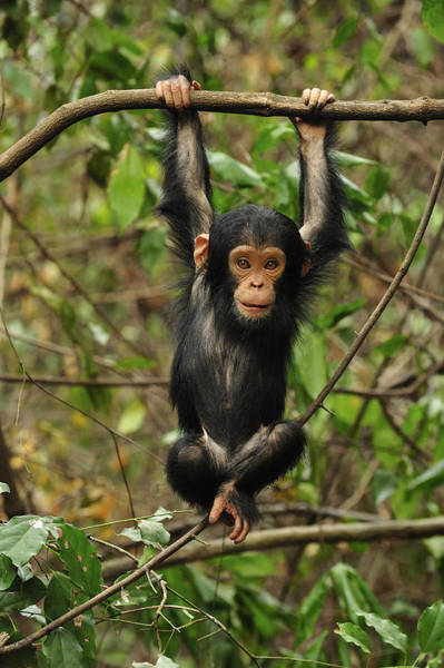 Gombe National Park Wall Art - Photograph - Eastern Chimpanzee Baby Hanging by Thomas Marent
