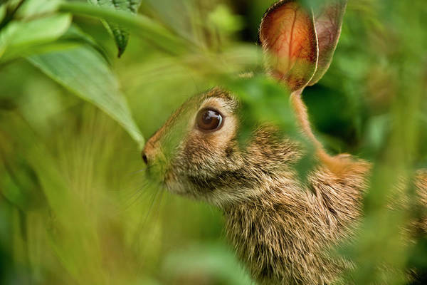 Cottontail Photograph - Eastern Cottontail by Copyright Michael Cummings