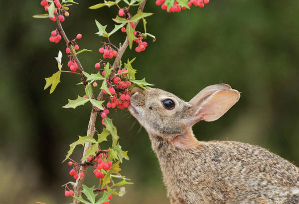 Wall Art - Photograph - Eastern Cottontail Eating Agarita by Rolf Nussbaumer