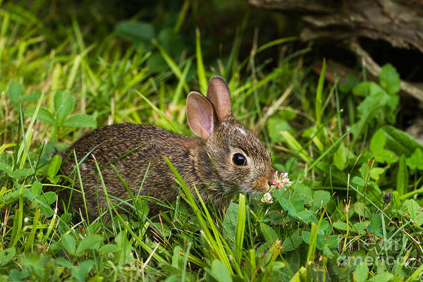 Sylvilagus Floridanus Photograph - Eastern Cottontail by Linda Freshwaters Arndt