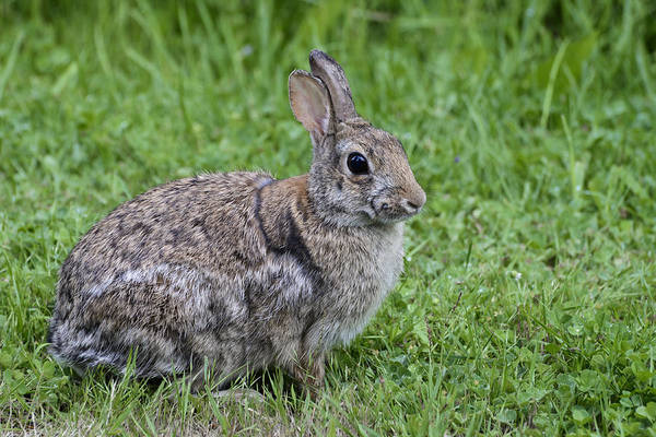 Sylvilagus Floridanus Photograph - Eastern Cottontail Rabbit by John Shaw