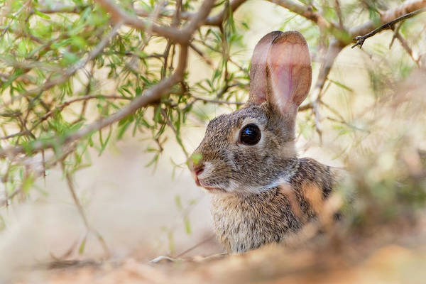 Cottontail Photograph - Eastern Cottontail Rabbit Resting by Larry Ditto