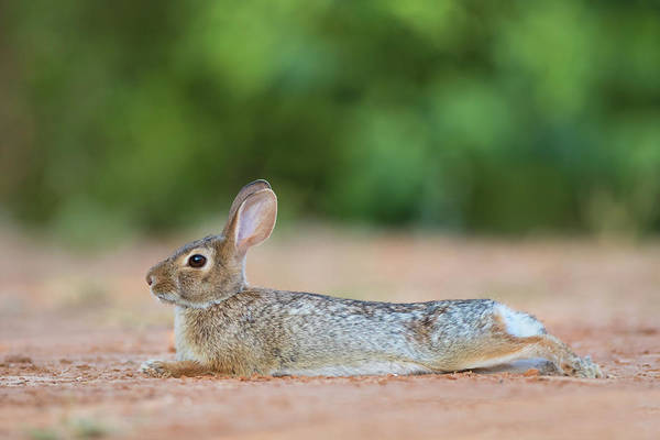 Sylvilagus Floridanus Photograph - Eastern Cottontail Rabbit (sylvilagus by Larry Ditto