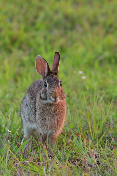 Sylvilagus Floridanus Photograph - Eastern Cottontail, Sylvilagus by Maresa Pryor