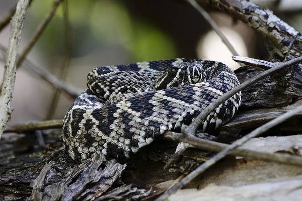 Photograph - Eastern Diamondback-1 by Rudy Umans