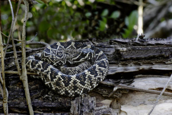 Photograph - Eastern Diamondback-2 by Rudy Umans